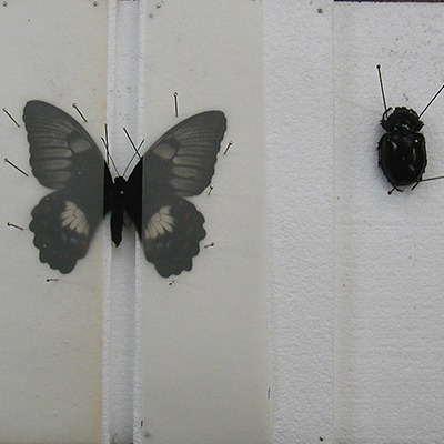 insect-pinning-mounting