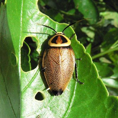 Blattellidae-Ellipsidion-sp.-mt-ziron