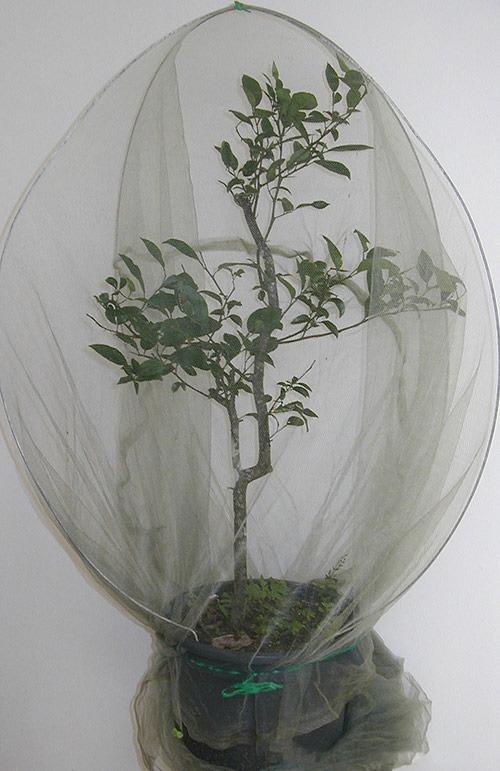 bugs-ed-citrus-potplant