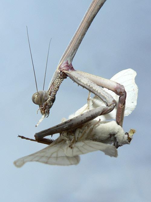 bugs-ed-mantis-feeding-The-Gap-SEQ3