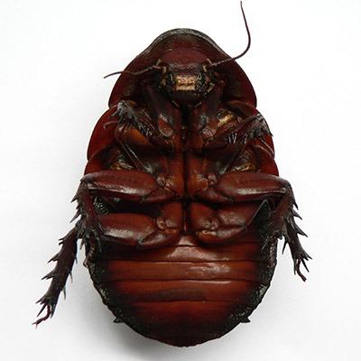 giant-cockroach-underside